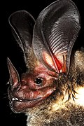 White-throated round-eared bat