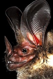 <i>Lophostoma</i> Genus of bats