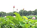 Lotus at West Lake 2.jpg