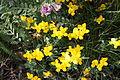 Lotus corniculatus, Castlewellan, May 2010.jpg