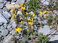 Lotus corniculatus flowers.jpg