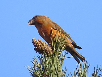 Crossbill - Image: Loxia pytyopsittacus, Budby Common 1
