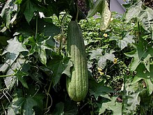 Egyptian luffa with nearly mature fruit