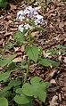 Lunaria rediviva RF.jpg