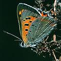 Lycaena.phlaeas.2238.jpg