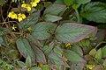 Lysimachia ciliata Firecracker E.jpg