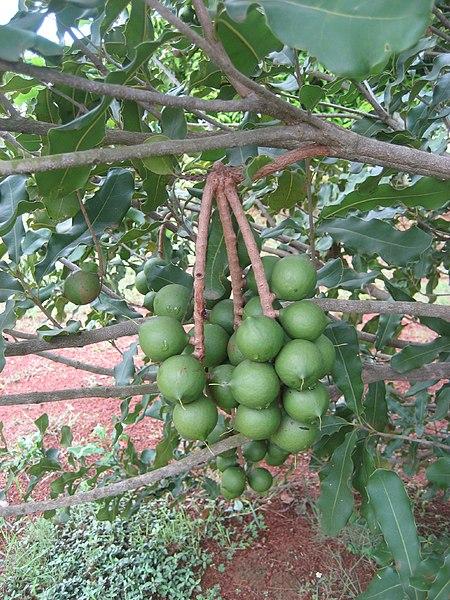 File:Macadamia (4507010499).jpg