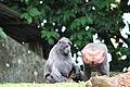 Macaque Singapore zoo 02.jpg