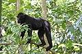 Macaque noir à crete de Sulawesi.JPG