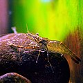 Macrobrachium nipponense by OpenCage.jpg