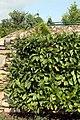Magnolia Jane 2zz.jpg