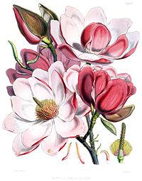 Magnolia campbellii flowers