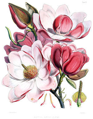 Magnolia campbellii flowers. Original caption:...