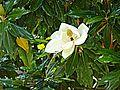 Magnolia spec Durres.jpg
