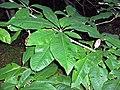 Magnolia tripelata (homeredwardprice) 001 (1).jpg