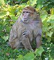 Magot Berberaffe Macaca sylvanus Tiergarten-Nuernberg-3.jpg