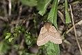 Malacosoma neustria formosana (34191731714).jpg