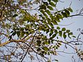 Malaveepp (Malayalam- മലവേപ്പ്) (5521866267).jpg