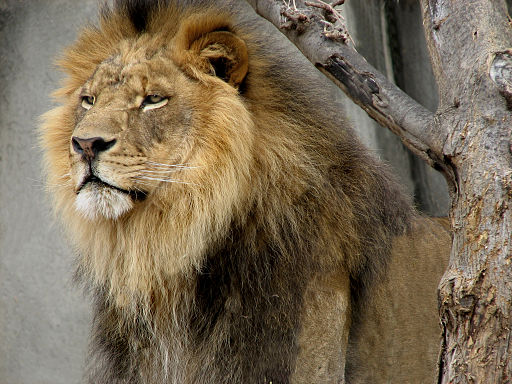 Male-lion-new