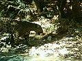 Male Jaguar–Photo Courtesy of UA-USFWS (20627068983).jpg