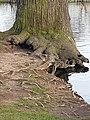 Malpighiales - Salix caprea - 11.jpg