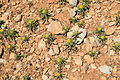 Malta - Ghajnsielem - Comino - Asteriscus aquaticus 01 ies.jpg