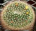 Mammillaria petrophila ssp baxteriana 2.jpg