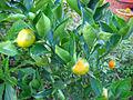 Mandarin plant (4699430763).jpg