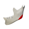 Mandibular angle - close-up - lateral view.png