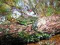 Mantidactylus argenteus01.jpg