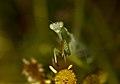 Mantis posando - Mantis posing (3987842427).jpg