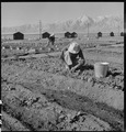 Manzanar Relocation Center, Manzanar, California. Evacuees of Japanese ancestry are growing flouris . . . - NARA - 537982.tif
