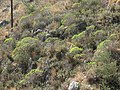 Maquis with Tree spurge - panoramio.jpg