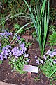 March 4, 2013 - Mid-Atlantic Region, Native Plant- Purple Phlox (8633076300).jpg