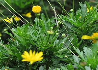 Euryops chrysanthemoides - Image: Margaritón Margarita amarilla (Euryops chrysanthemoides) Flickr Alejandro Bayer