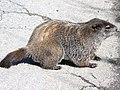 Marmota monax-lateral.jpg