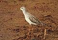 Marsh sandpiper 8(Tringa stagnatilis).jpg