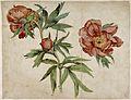 Martin Schongauer - Study of Peonies - WGA21034.jpg