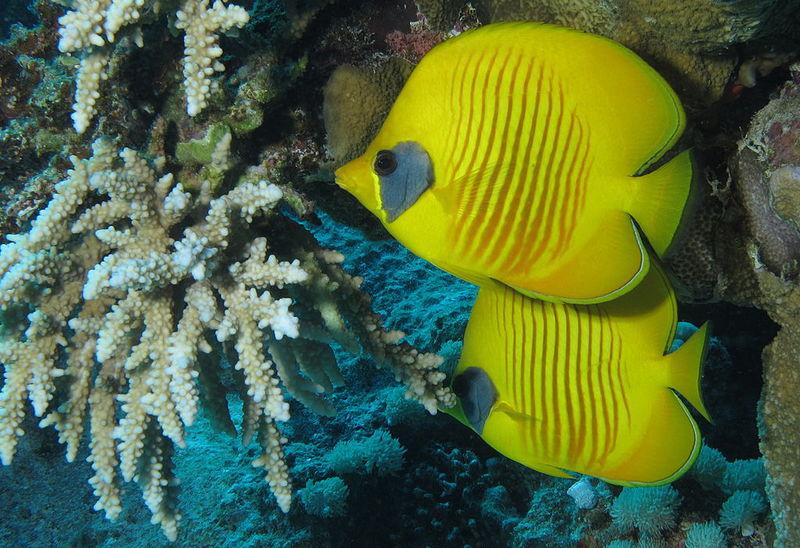 File:Masked butterflyfish at Abu Dabab Reefs, Red Sea, Egypt SCUBA.jpg