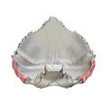 Mastoid border of occipital bone05.png