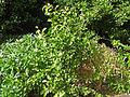Maytenus canariensis (Jardín Botánico Canario Viera y Clavijo.jpg