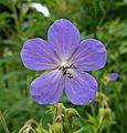 Meadow Cranesbill (Geranium pratense) (3711088790).jpg