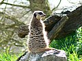 Meerkat, Longleat House and Safari Park, Wiltshire - geograph.org.uk - 763363.jpg