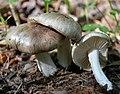 Megacollybia rodmanii R.H. Petersen, K.W. Hughes & Lickey 867975.jpg
