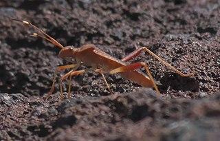 <i>Megalotomus</i> Genus of true bugs