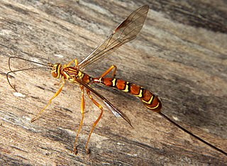 Ichneumonoidea superfamily of insects