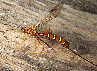 Ichneumonoidea - Megarhyssa macrurus female
