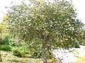 Melaleuca nesophila 2c.JPG