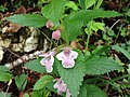 Melittis melissophyllum - 6558.jpg