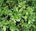 Menyanthes trifoliata 07 ies.jpg